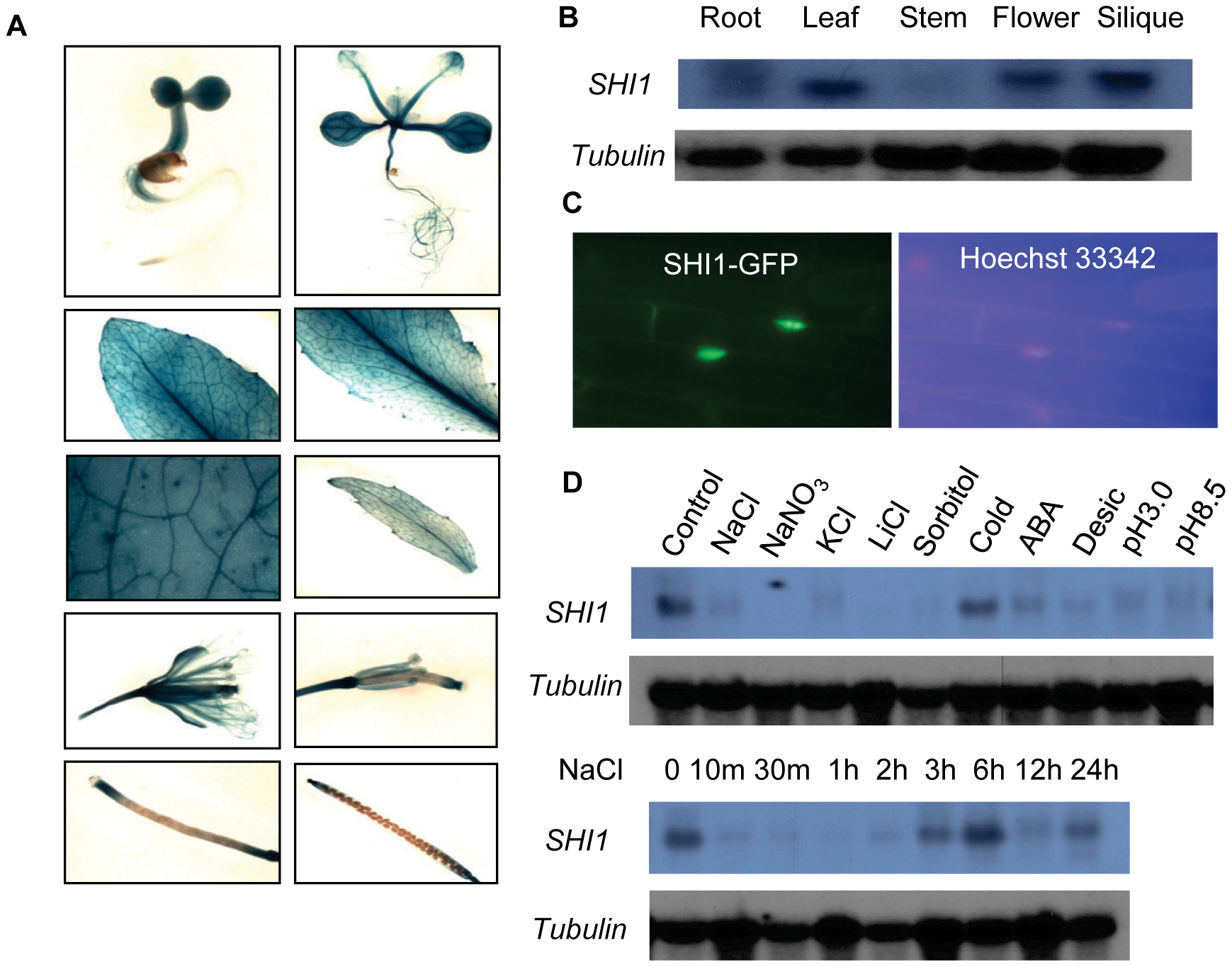 Gene expression and subcellular localization of the SHI1.
