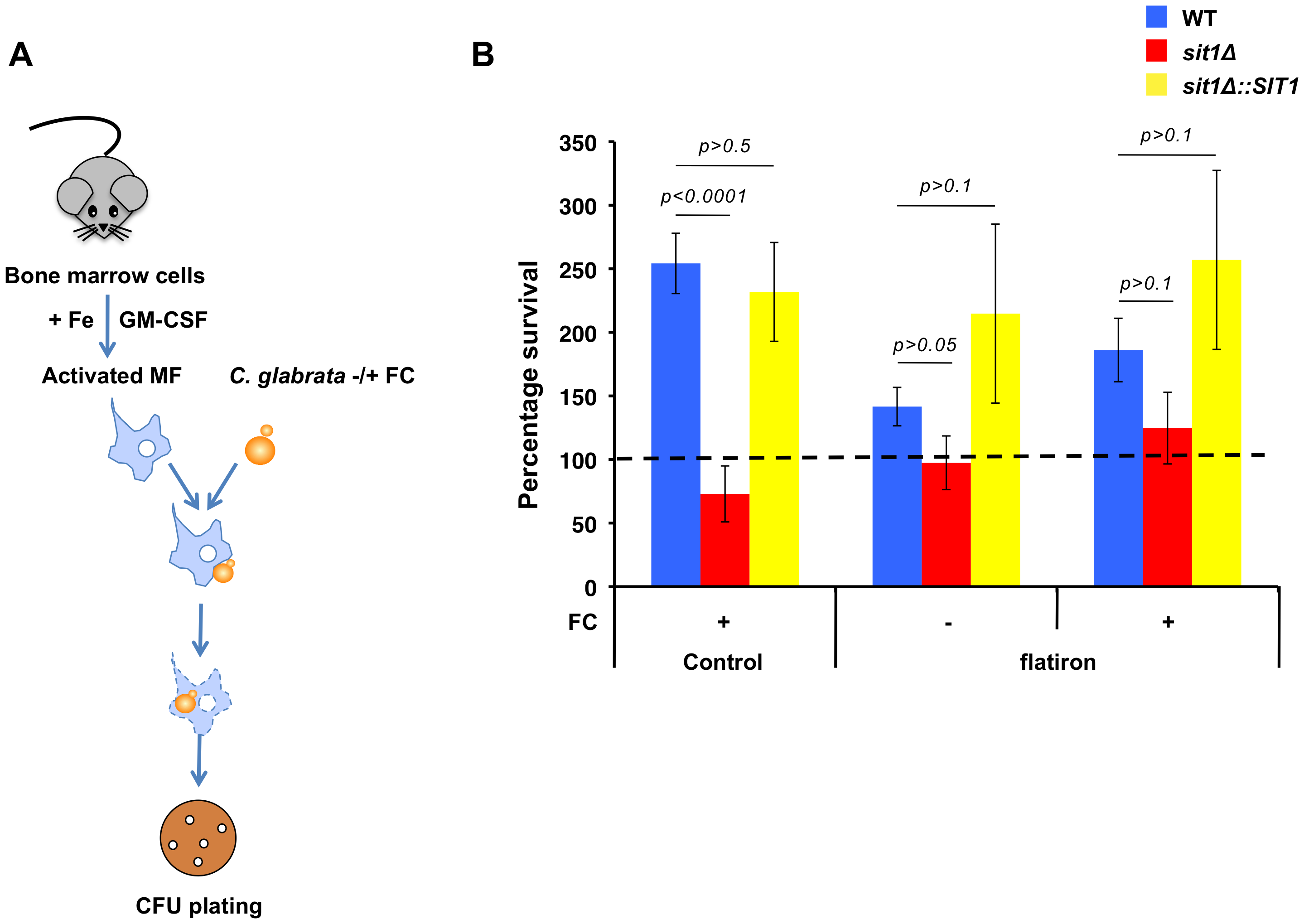 <i>C. glabrata</i> shows Sit1-dependent siderophore utilization in primary macrophages derived from wild type but not the <i>flatiron</i> mouse.