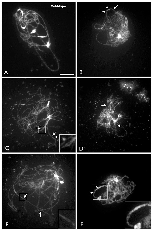 Arabidopsis <i>xrcc3</i> mutants exhibit partial chromosome alignment and pairing.