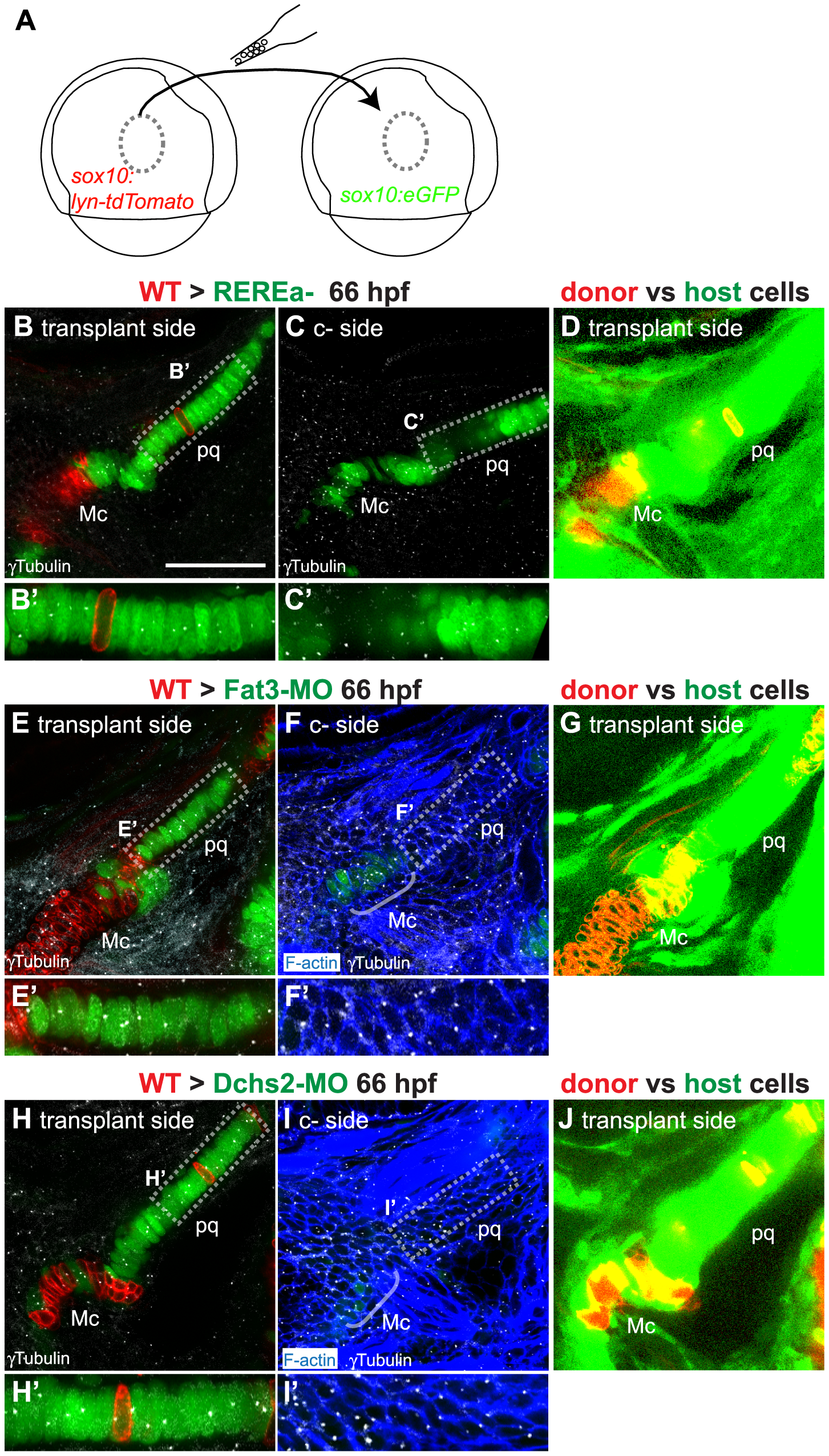 Non-cell autonomous requirements for REREa, Fat3 and Dchs2 in cartilage stacking and polarity.