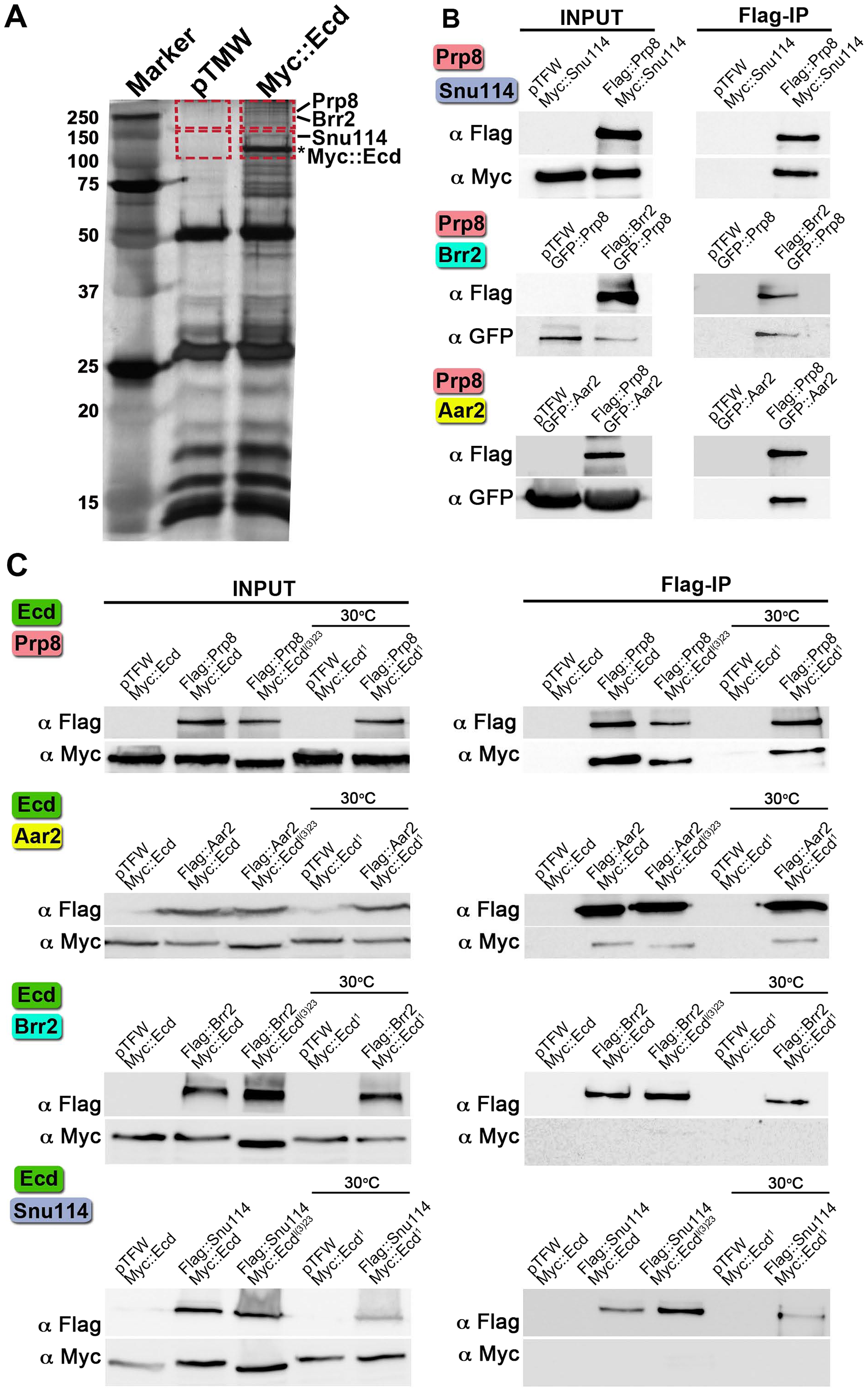 Interactions of Ecd with proteins of the U5 snRNP complex.