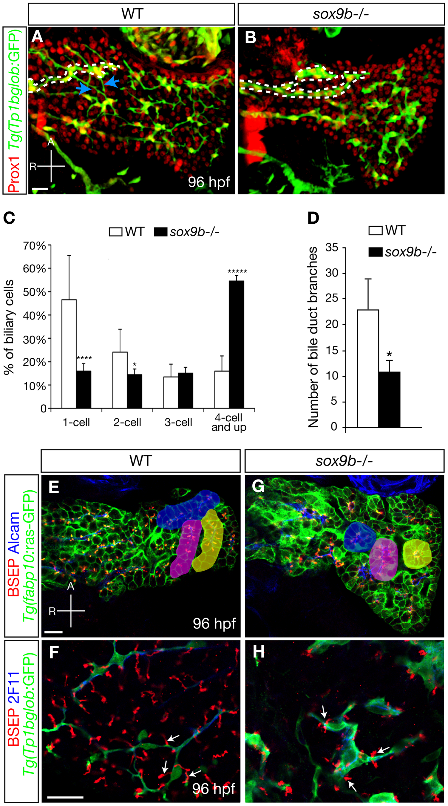Intrahepatic biliary network morphogenesis and bile canaliculi formation are impaired in <i>sox9b</i> mutants.