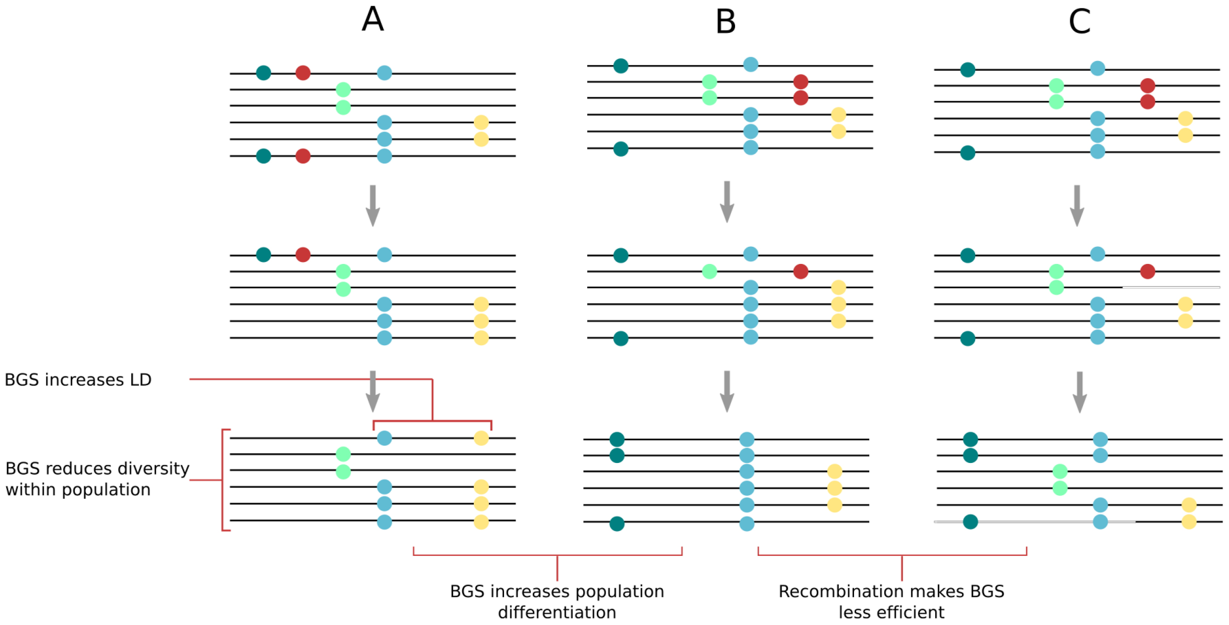 Effect of background selection (BGS) on molecular diversity within and between populations.