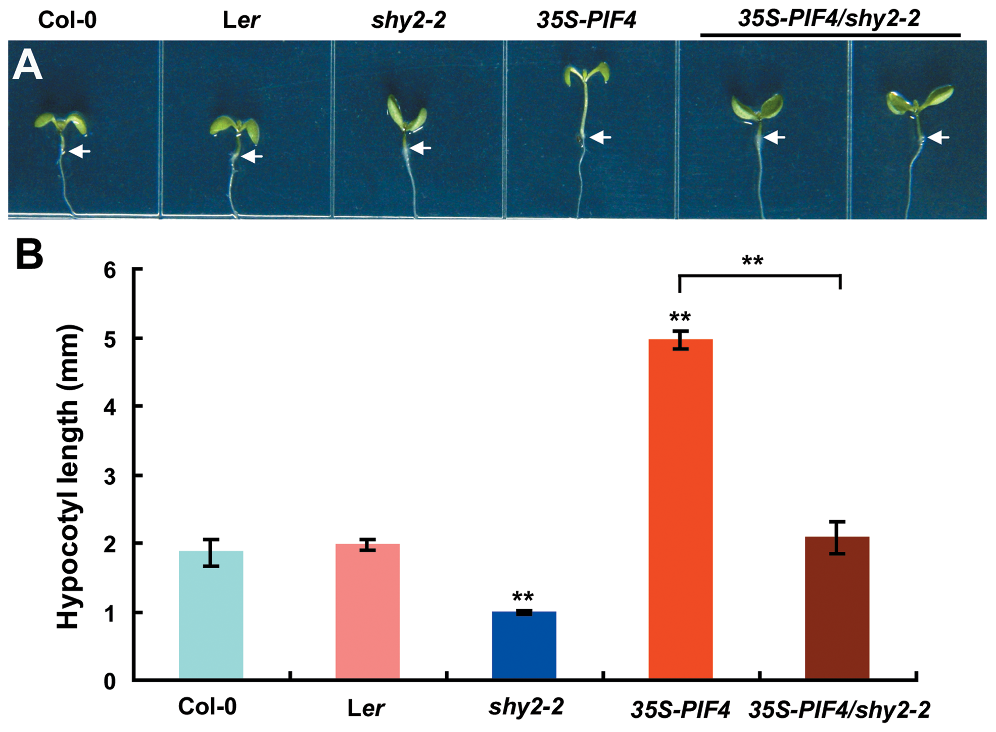 The <i>shy2-2</i> Mutation Suppresses the Long-Hypocotyl Phenotype of <i>35S-PIF4</i> Seedlings.