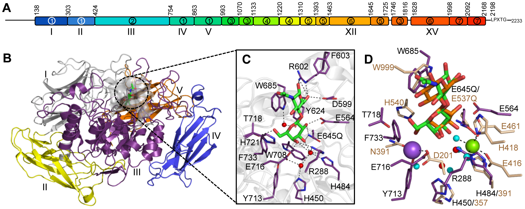 The structural features of BgaA from <i>S. pneumoniae</i>.