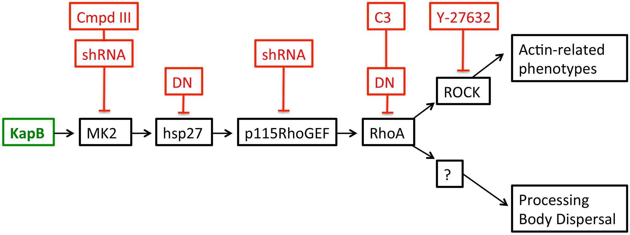 KapB activation of MK2 can lead to RhoA through intermediates hsp27 and p115RhoGEF.
