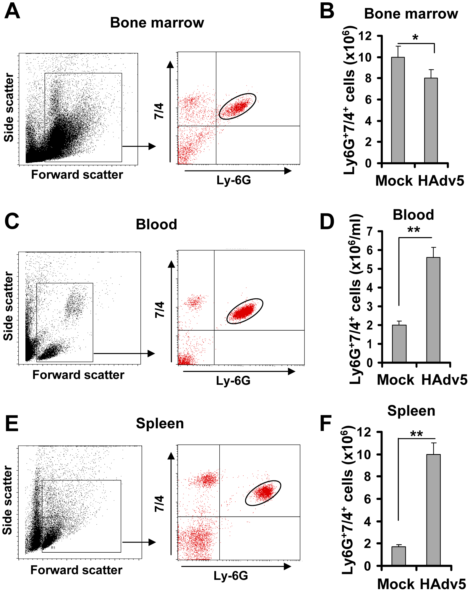 Intravascular adenovirus administration leads to the release of Ly-6G<sup>+</sup>7/4<sup>+</sup> polymorphonuclear leukocytes from bone marrow into the blood and their retention in the spleen.