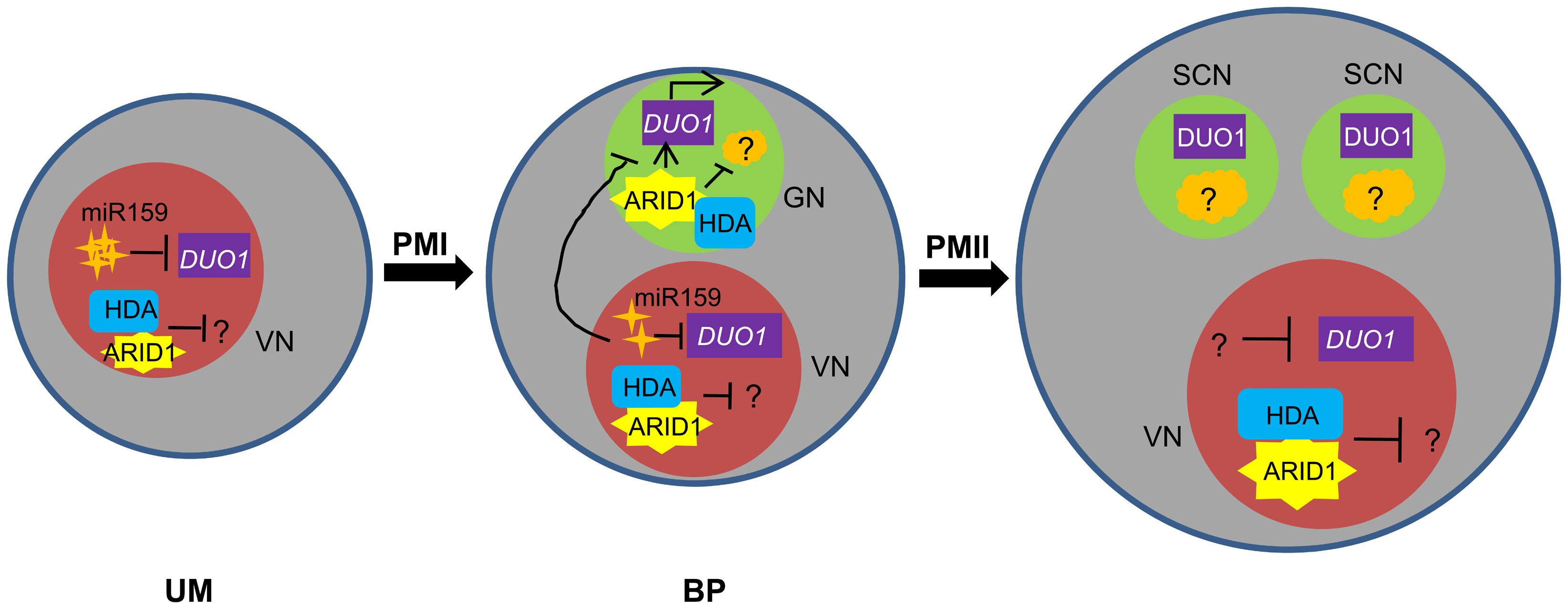 Model for ARID1 function during sperm cell formation in <i>Arabidopsis</i>.