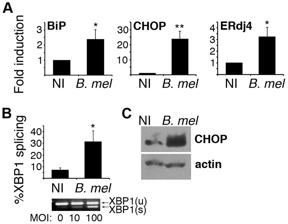 <i>Brucella</i> infection activates the UPR in macrophages <i>in vitro</i>.