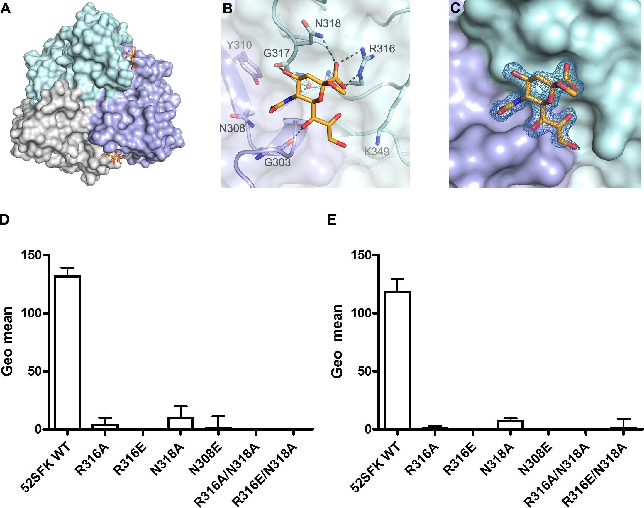 HAdV-52 interaction with sialic acid.