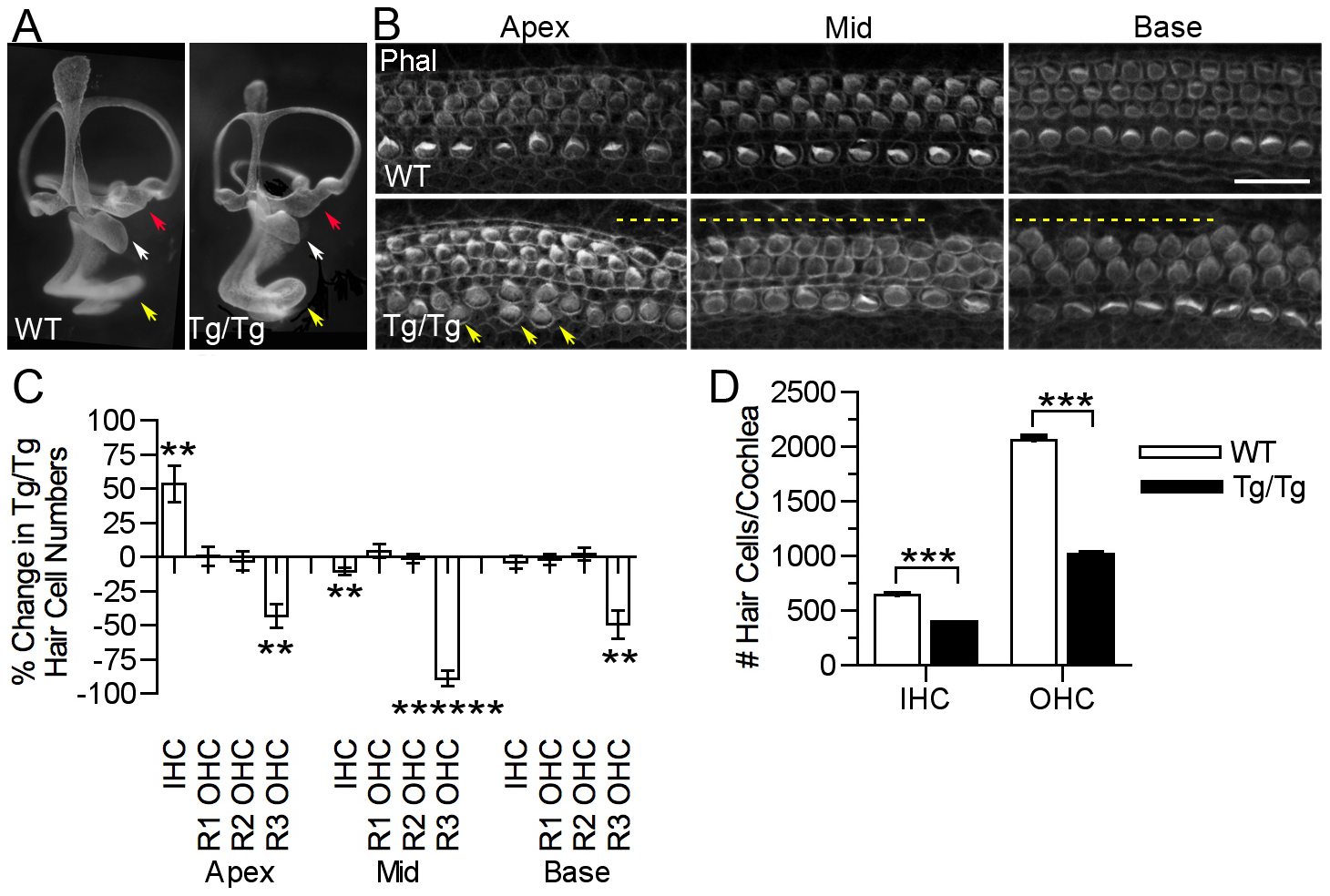 Mutation of <i>Sfswap</i> results in a shorter cochlea, fewer outer hair cells and ectopic inner hair cells.