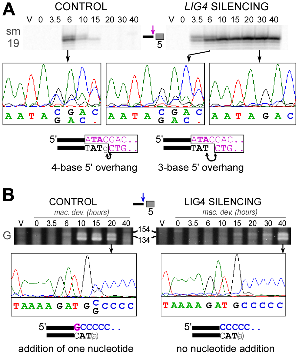 Analysis of 5′- and 3′-end processing at double-strand breaks in <i>LIG4</i>-silenced cells.
