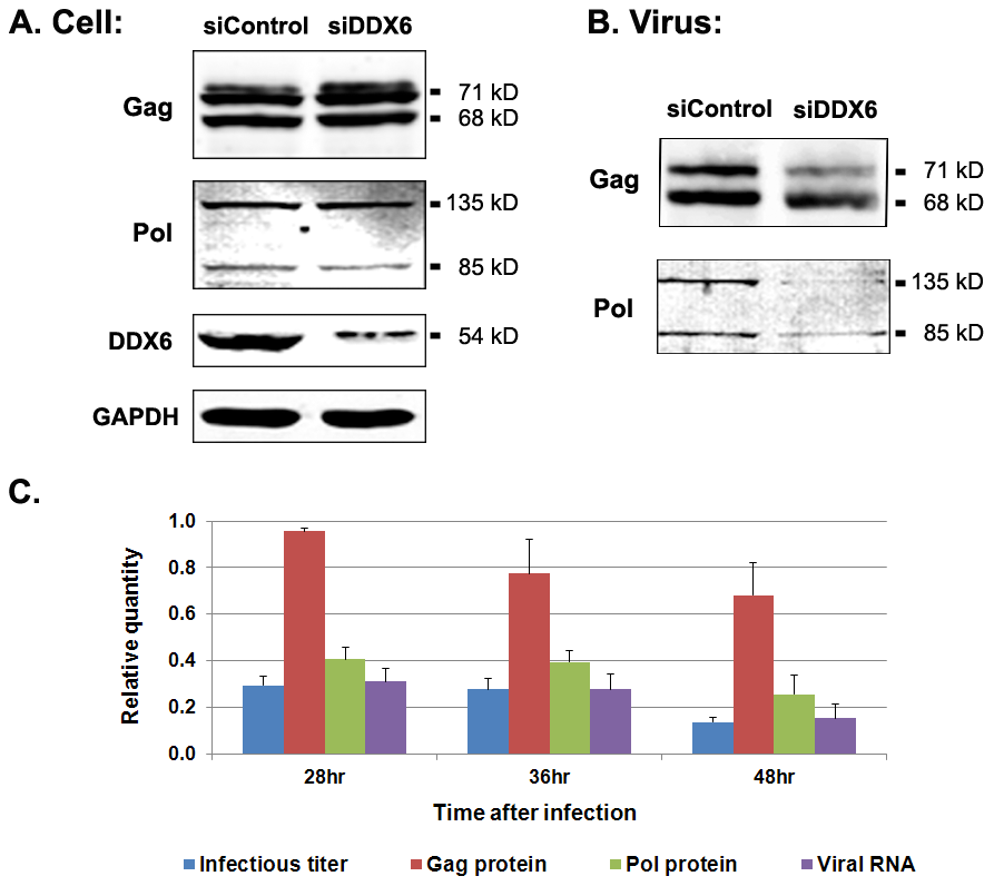 Viral proteins and RNA in cell lysates and extracellular particles after DDX6 knockdown.