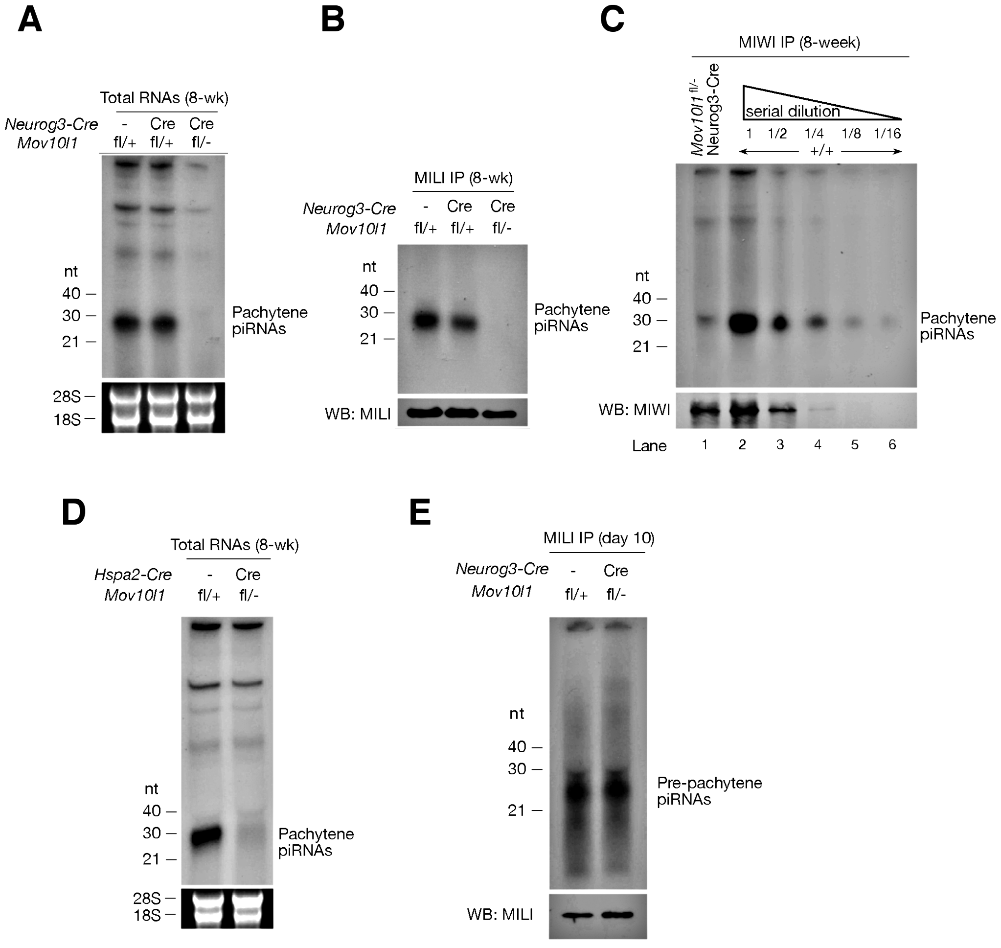 <i>Mov10l1</i> is required for biogenesis of pachytene piRNAs.