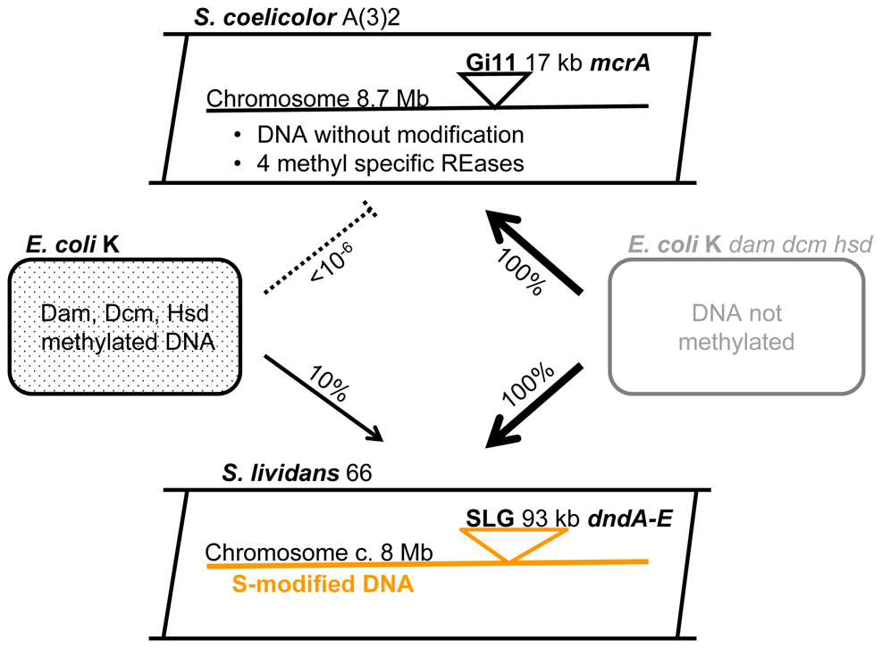 <i>Streptomyces</i> and <i>E. coli</i> strains used as sources of recombinant DNA.