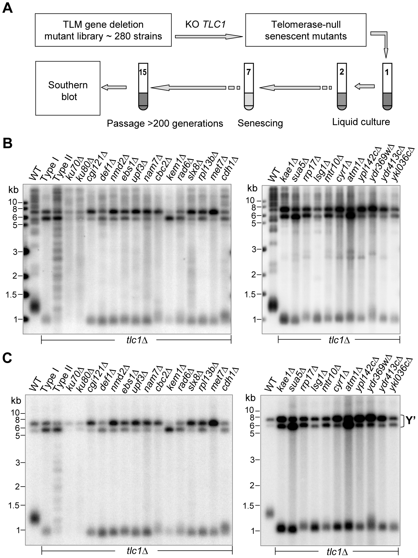 Southern blot analyses of Type I survivors generated in <i>tlm</i>Δ <i>tlc1</i>Δ mutants in liquid culture.