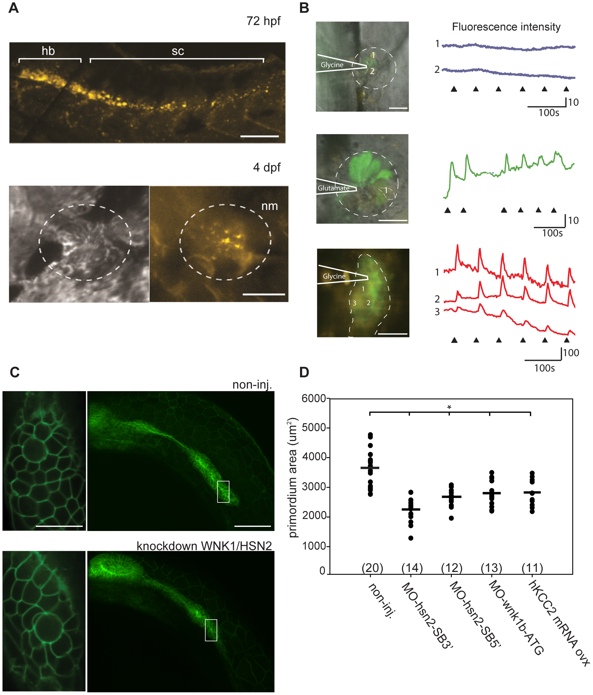 KCC2 is found in the embryonic zebrafish PLL.