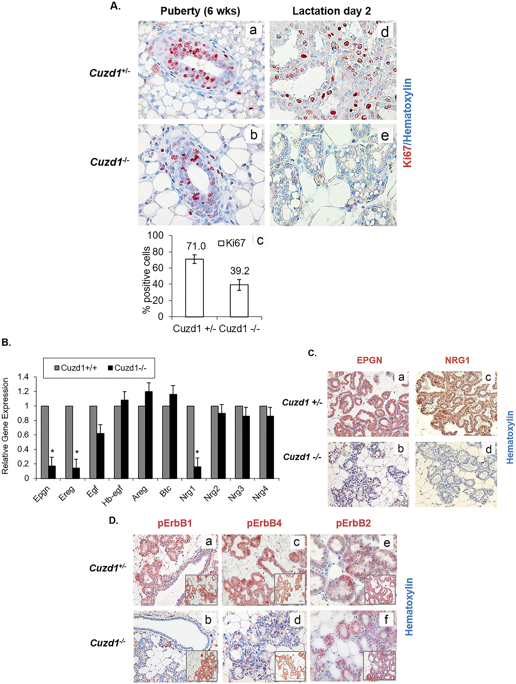 Developmental defects in <i>Cuzd1</i><sup>(-/-)</sup> mammary glands are due to an impairment in EGF signaling.