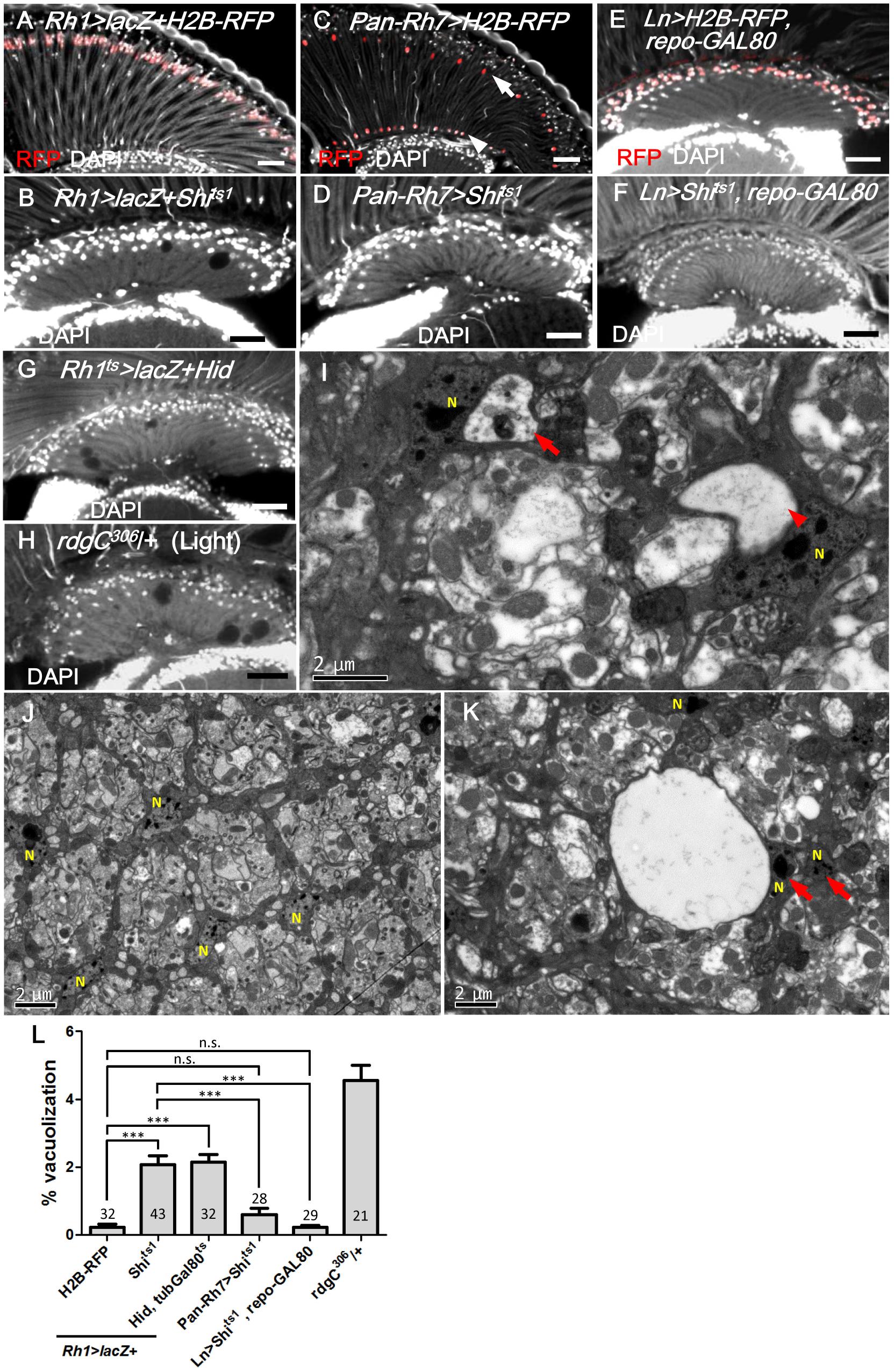 R1-6 photoreceptors are required for lamina glia maintenance.