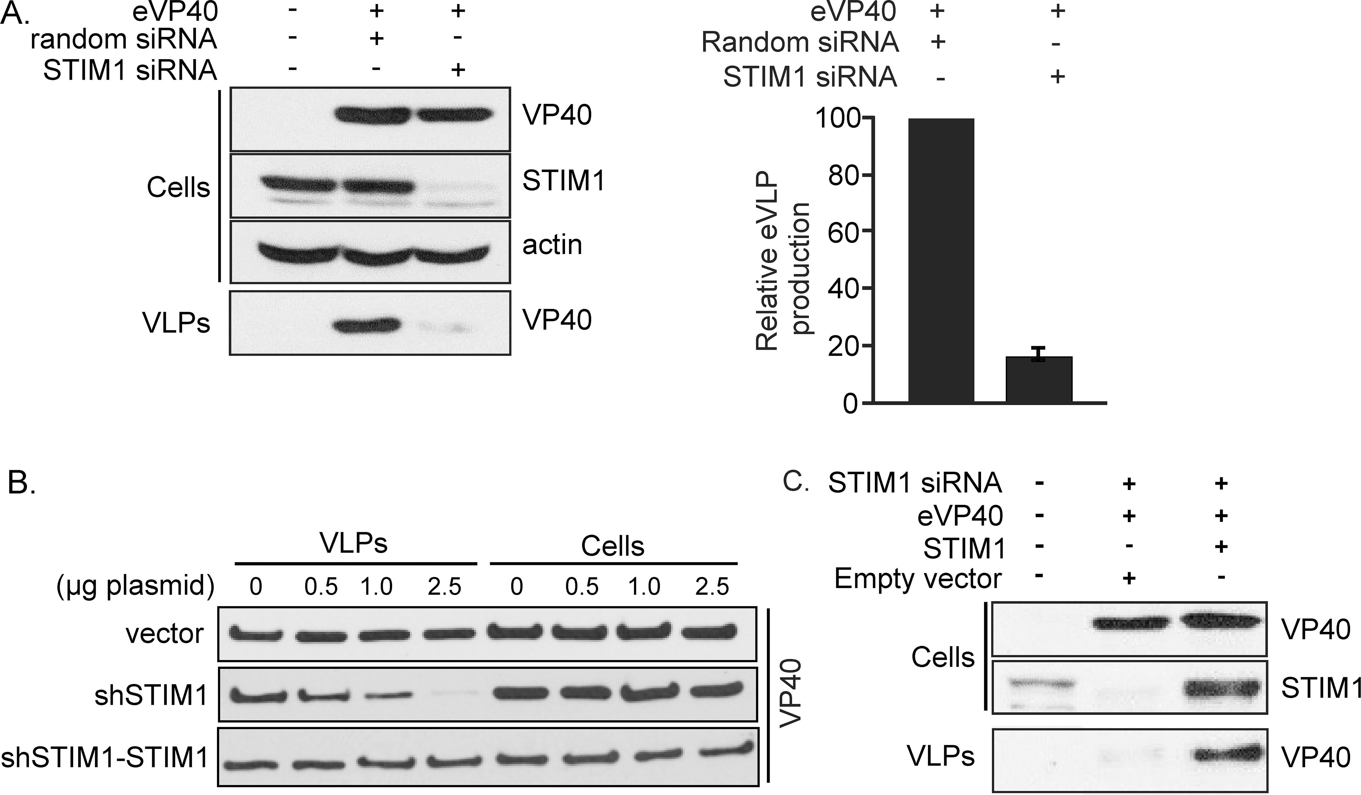 STIM1 suppression inhibits egress of eVP40 VLPs.