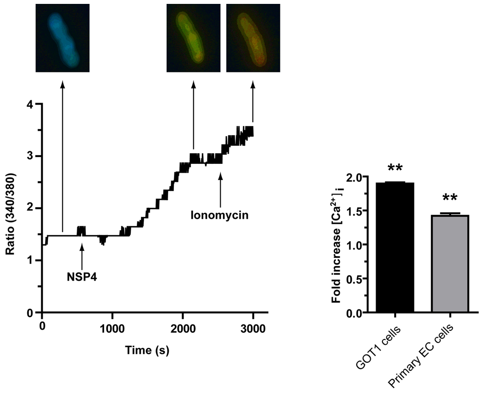 NSP4 induces an increase in intracellular Ca<sup>2+</sup> in human EC tumor cells.