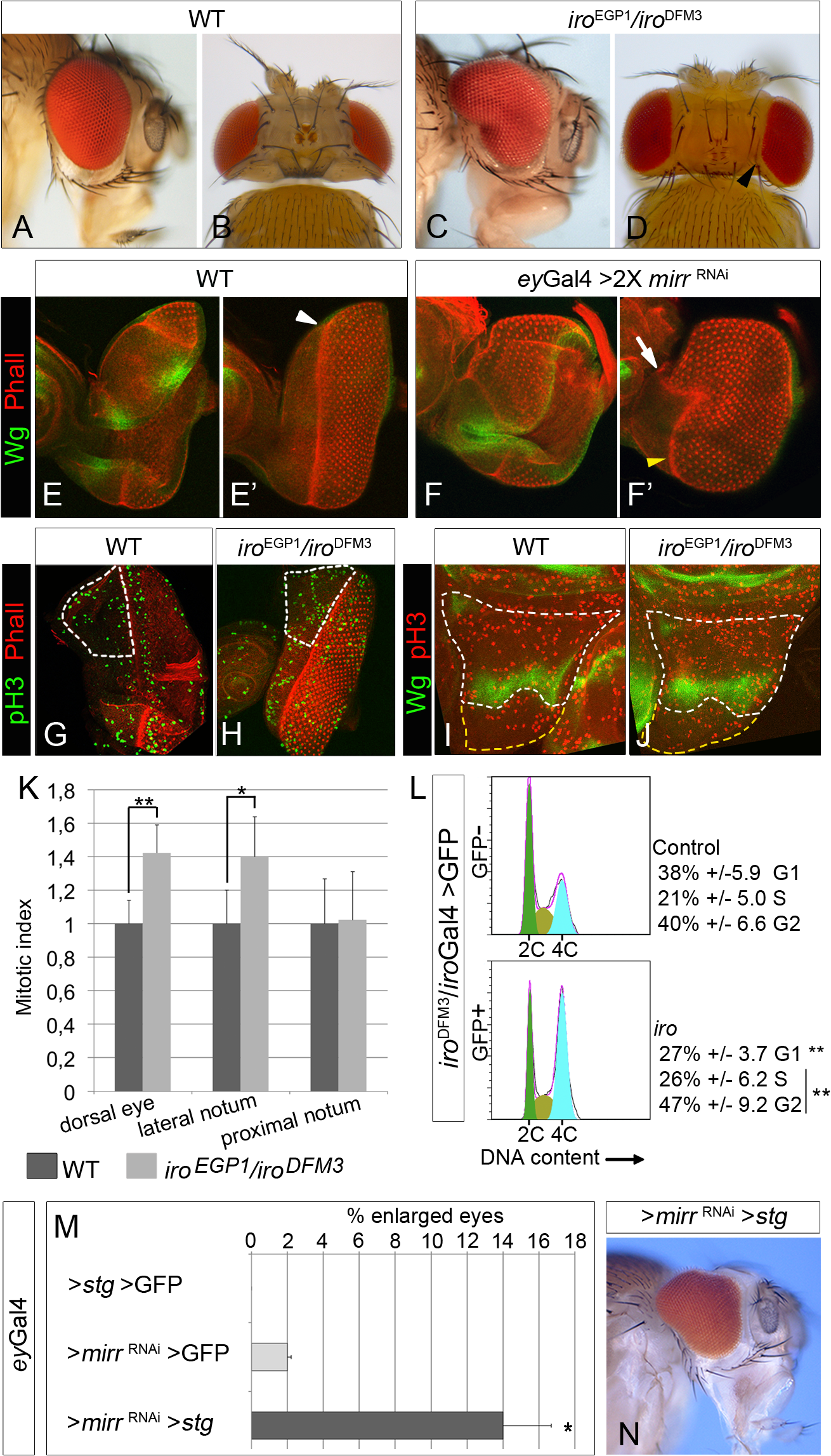 Cell-autonomous increase in cell proliferation in <i>iro</i> mutants.