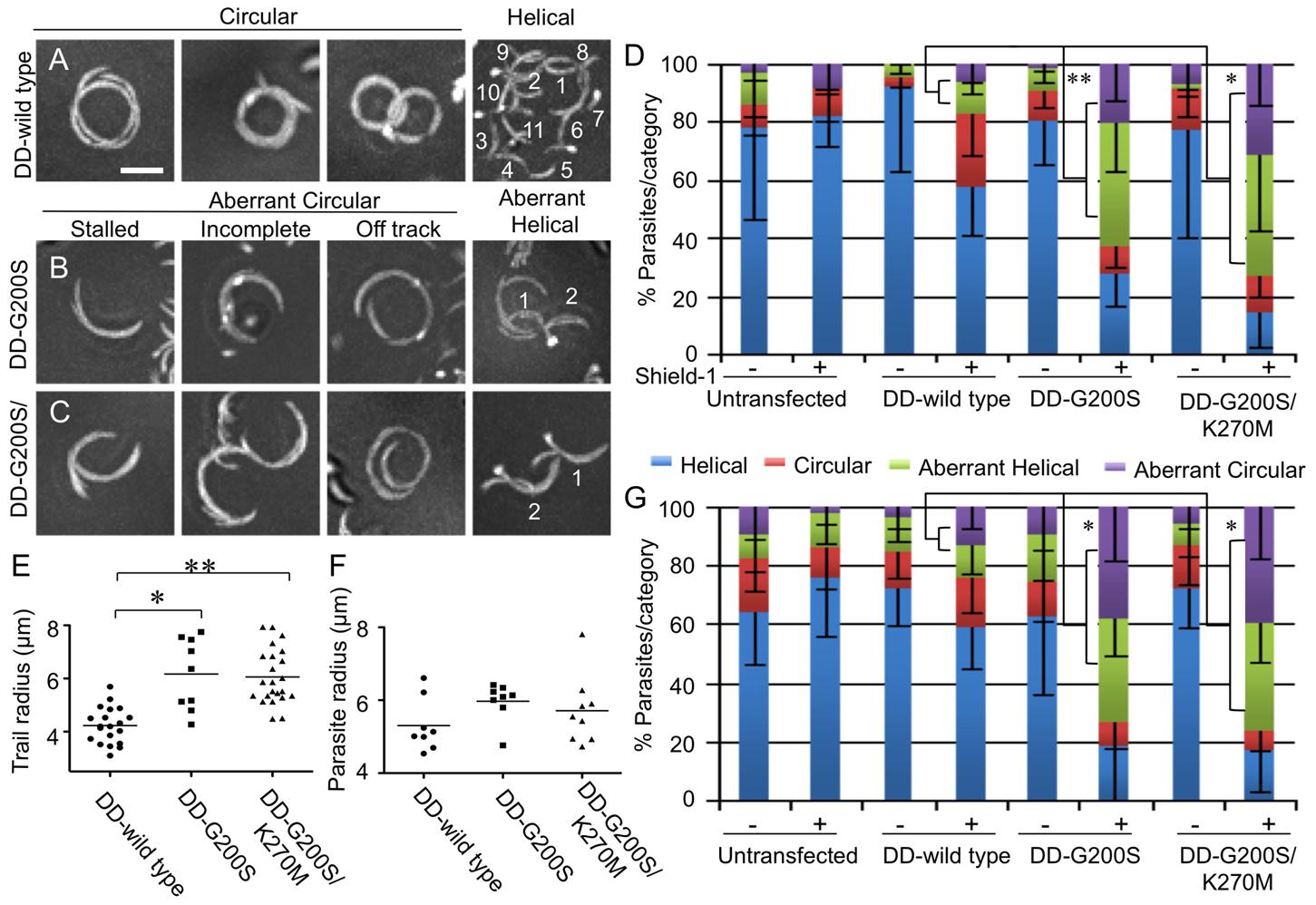 Parasites expressing stabilized actin undergo aberrant gliding motility.