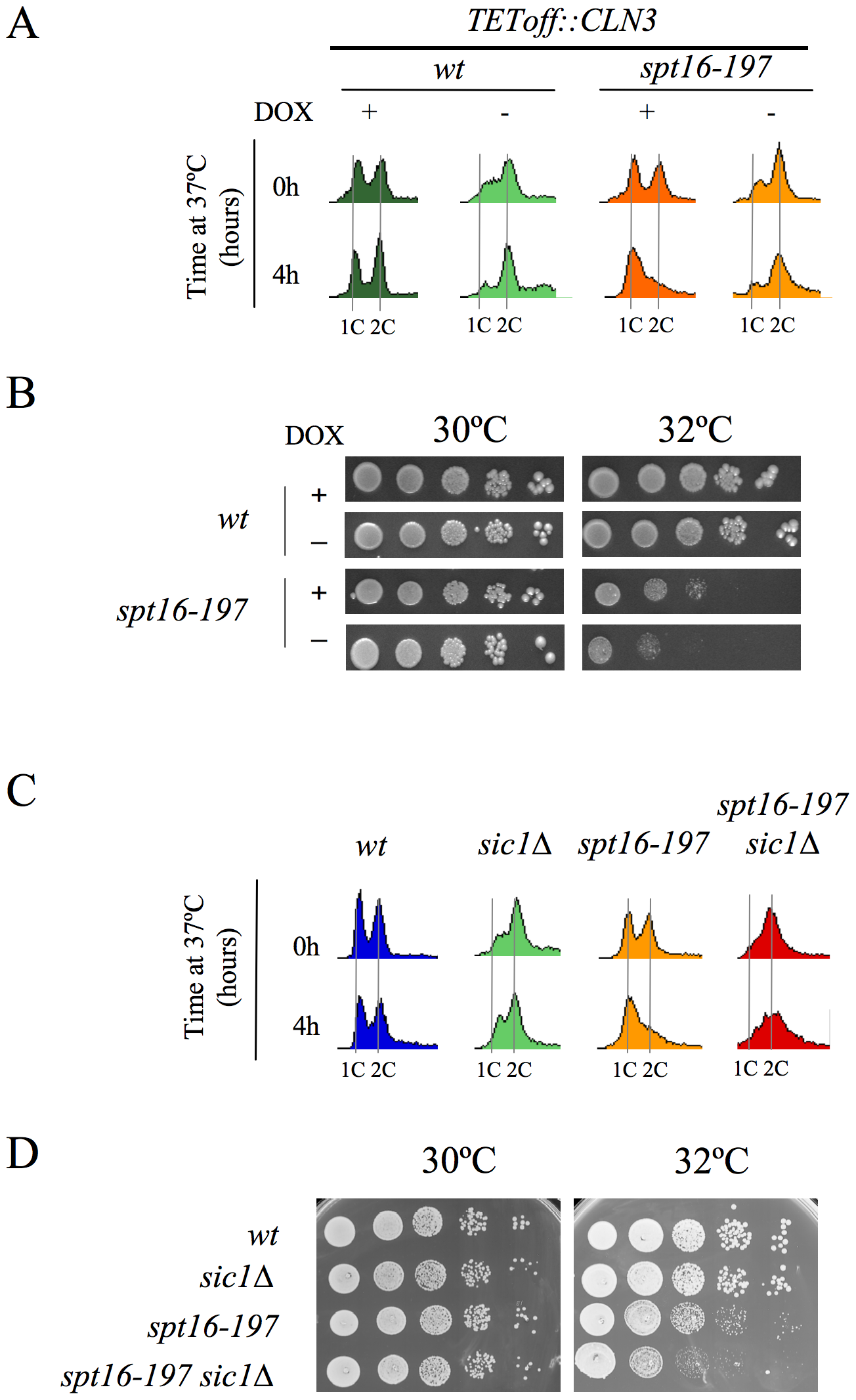 The forced entry of Spt16-deficient cells into the S-phase lowered their viability.