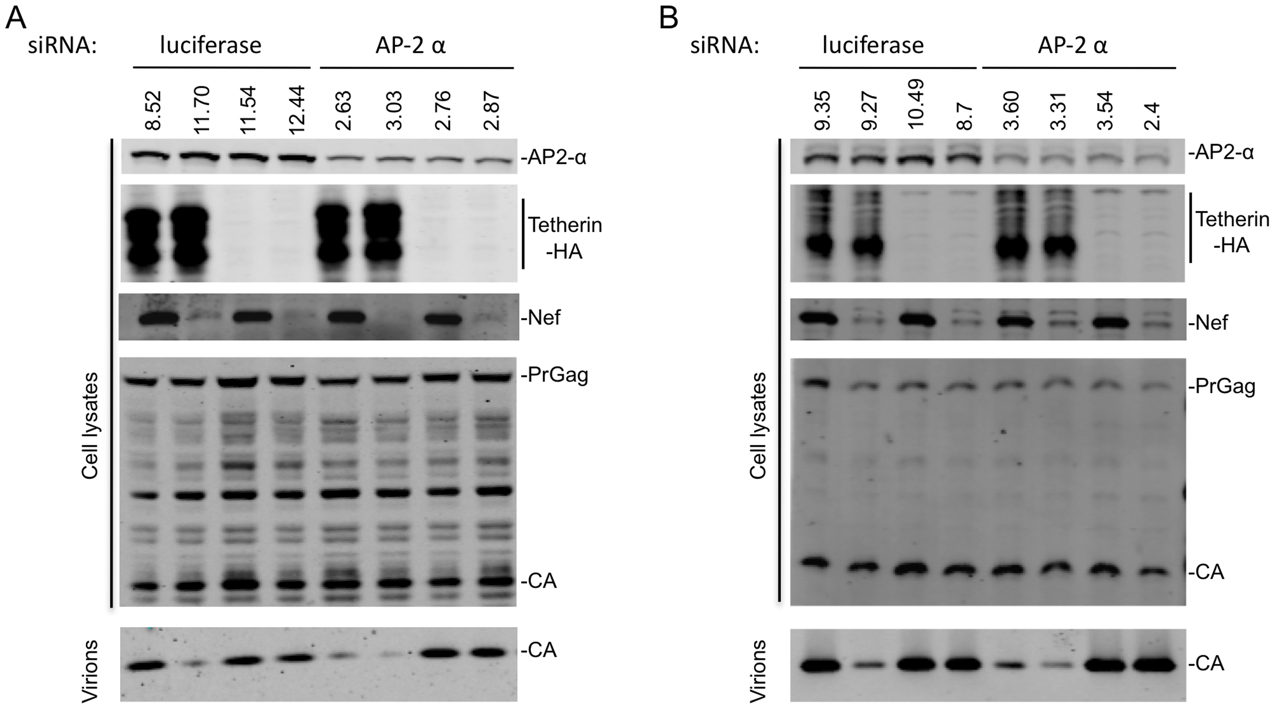 AP-2 is required for Nef to antagonize Tetherin.