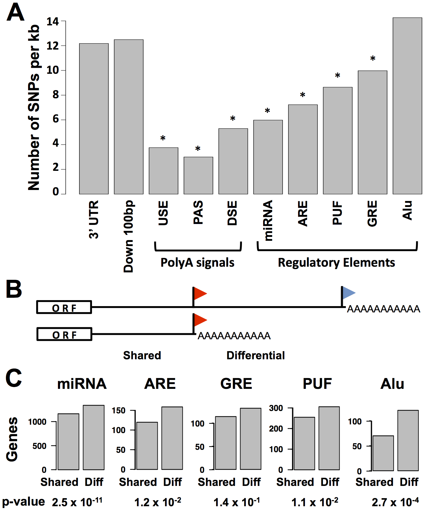 Conservation and positioning of regulatory elements in 3′ untranslated regions.