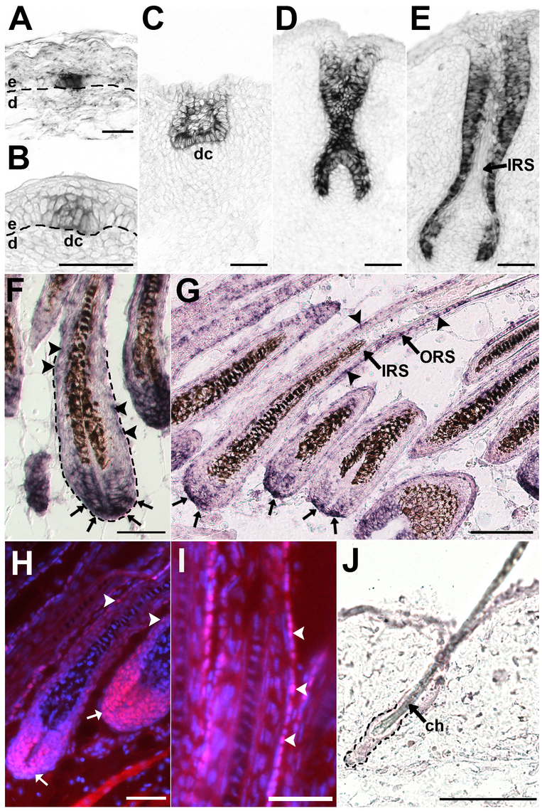 Lhx2 is expressed from early stages of morphogenesis and becomes restricted to the proximal part of the hair bulb and the ORS in fully developed HFs.