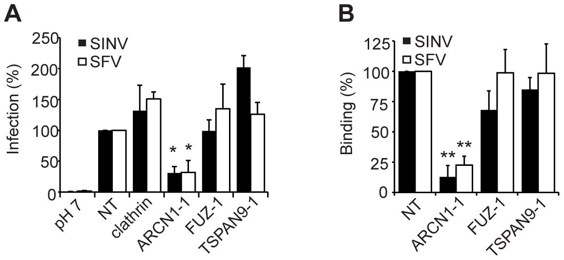 ARCN1 depletion inhibits alphavirus binding to host cells.