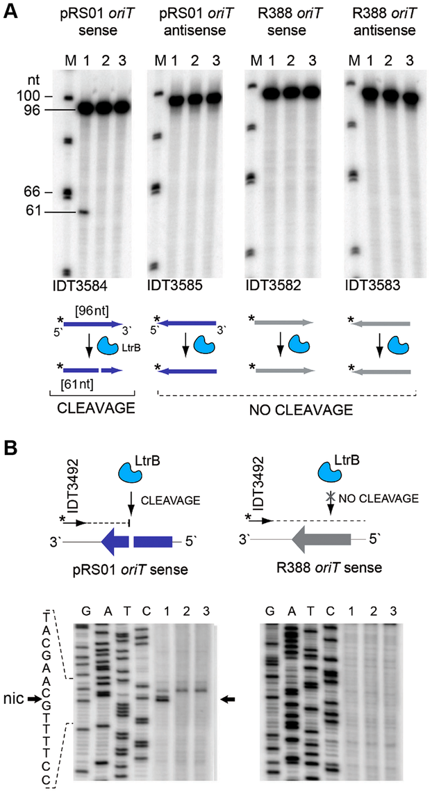 LtrB nicks ssDNA of its cognate <i>oriT</i> in sequence- and strand-specific manner.