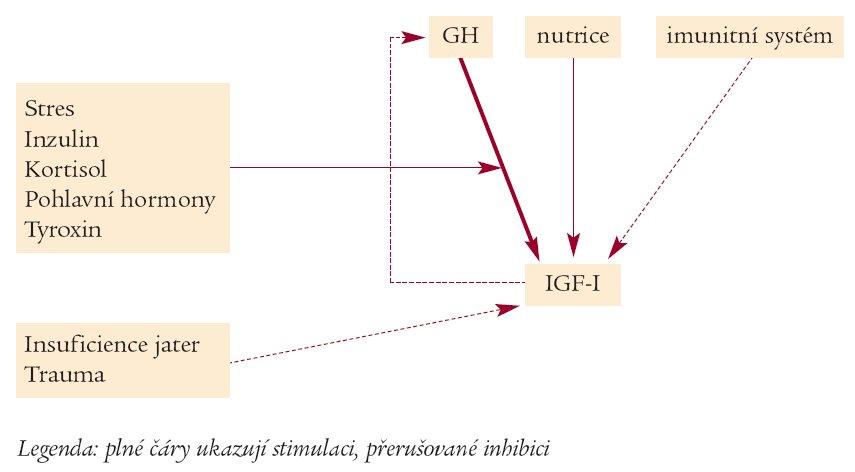 Regulátory sekrece IGF (upraveno dle Wernera et al).