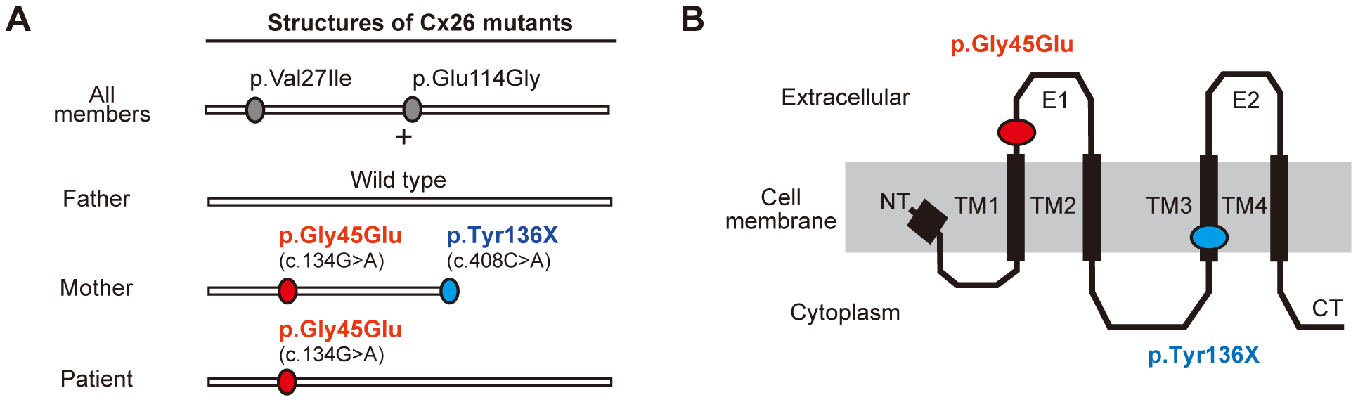 Configurations and topological mapping of the <i>GJB2</i> mutations in the family.