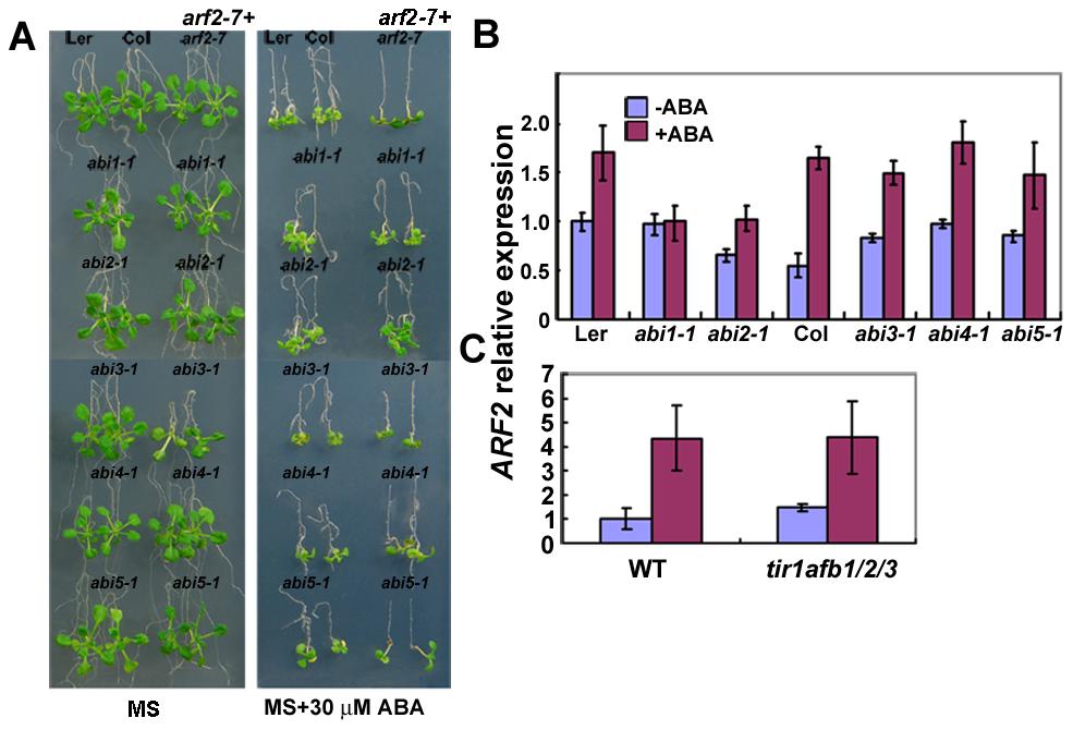 Genetic analysis of <i>arf2-7</i> with <i>abi</i> mutants.