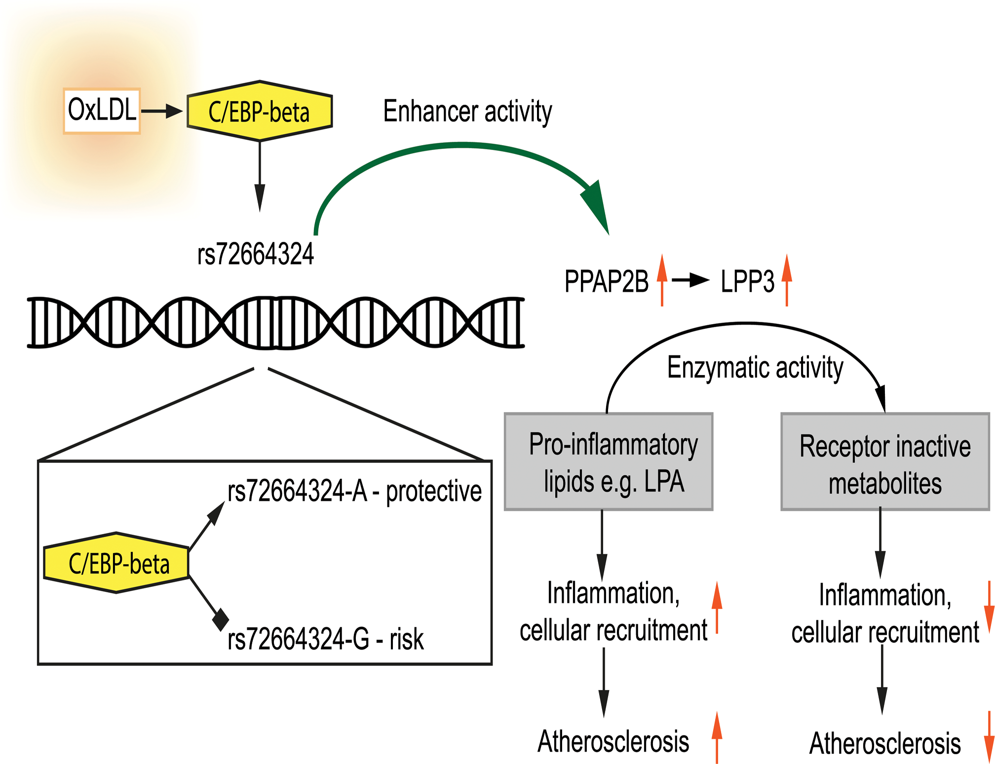 Model showing the interplay between oxLDL, C/EBP beta and rs72664324 on expression of <i>PPAP2B</i>.
