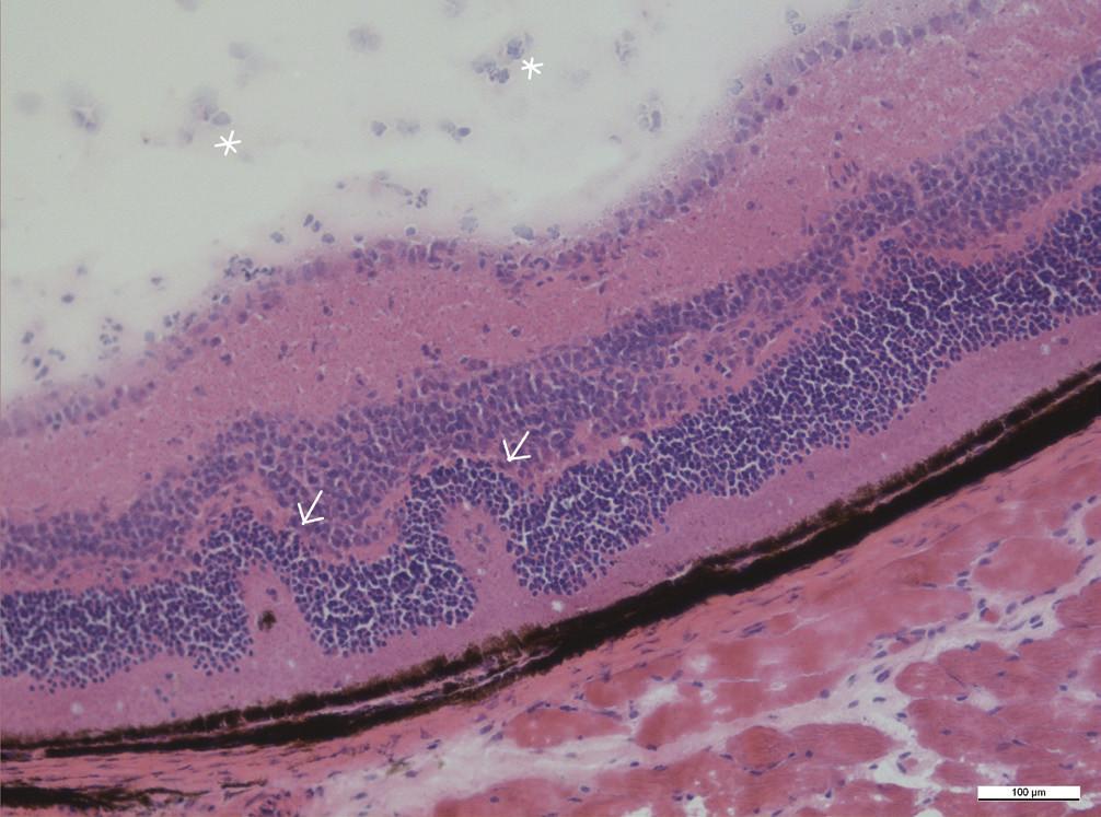Retinální záhyby v zevních vrstvách sítnice (šipky), ve sklivci jsou přítomny zánětlivé buňky (hvězdičky), zvětšení 20x