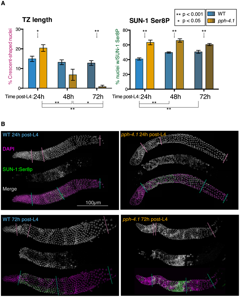 Transition zone nucleus numbers are abnormal, and SUN-1 phosphorylation is extended, in <i>pph-4.1</i> mutants.