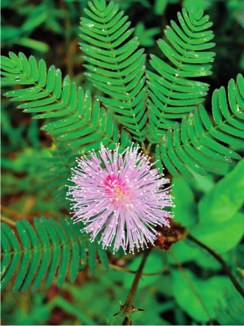 Citlivka <i>Mimosa pudica</i> Foto: PhDr. Ivo Králíček, Ph.D.