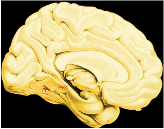 """Vnitřní plocha levé hemisféry Legenda FFA – fusiform face area; aktivovaná pozorováním tváří PPA – parahippocampal place area; aktivovaná pozorováním budov Plošná i objemová velikost včetně polohy jsou rozdílné, a to jak stranově tak mezi jednotlivými lidmi. Oblasti nejsou """"centry"""" poznávání tváfií, respektive budov. Jsou úzk˘mi profily pouti informace v neuronálních sítích velkého rozsahu."""