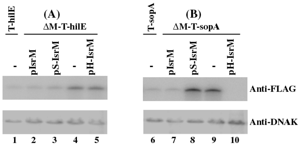 Western blot analysis of the expression of the tagged proteins from <i>Salmonella</i>.