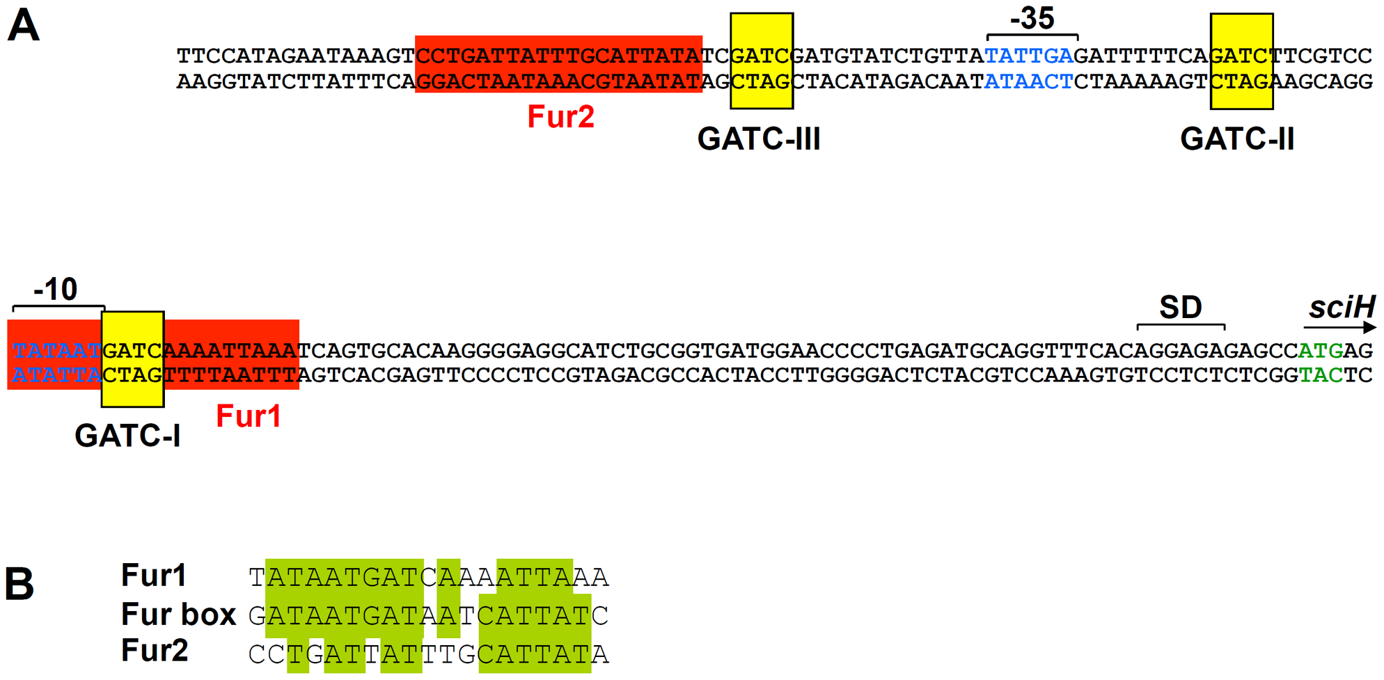 <i>In silico a</i>nalysis of the <i>sci1</i> proximal promoter region.