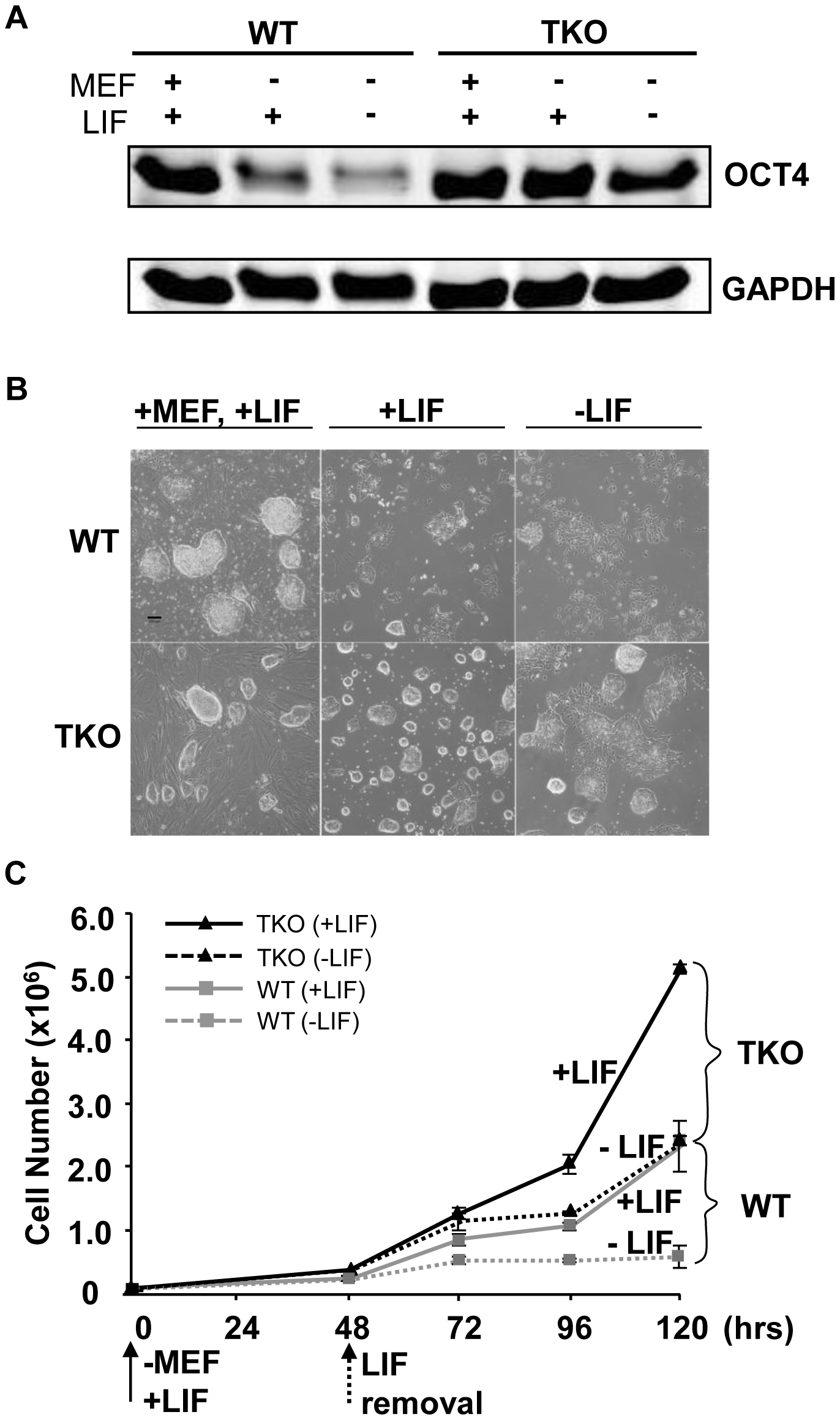 Loss of H1c/H1d/H1e inhibits spontaneous ESC differentiation.
