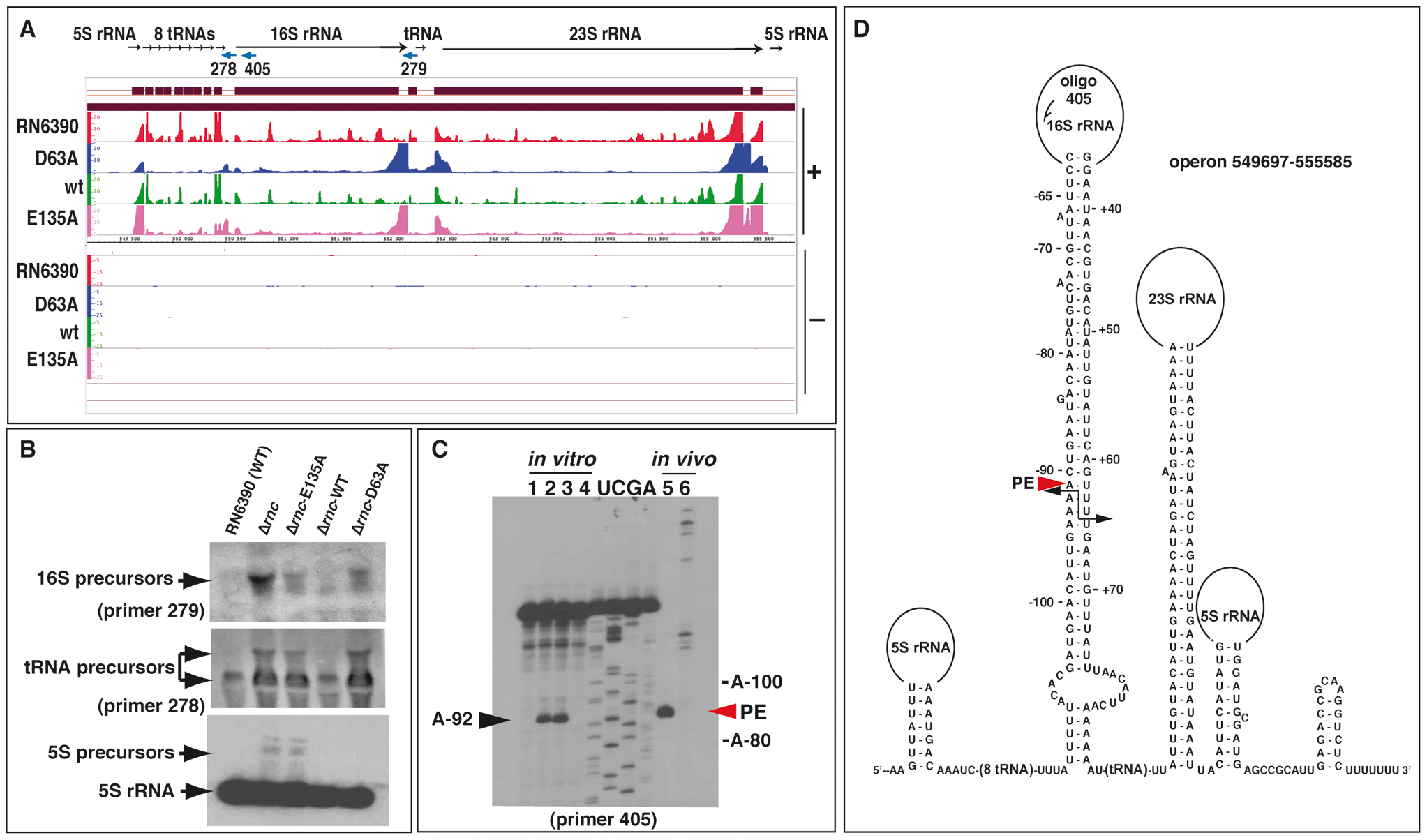 Processing of the rRNA operon by RNase III.