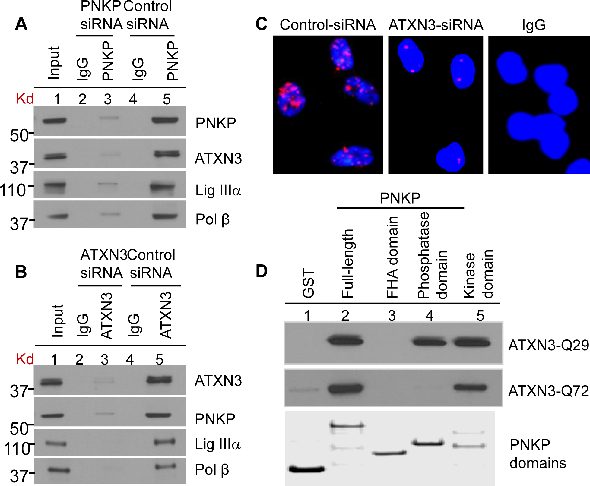Characterization of the (A) PNKP and (B) ATXN3 immunocomplexes by Western blot analysis.