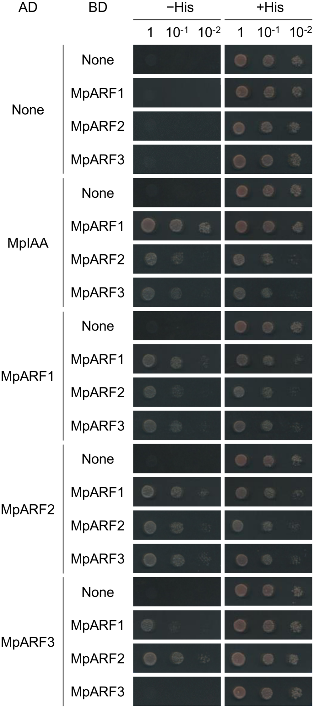Protein-protein interactions between MpIAA and MpARFs in yeast.