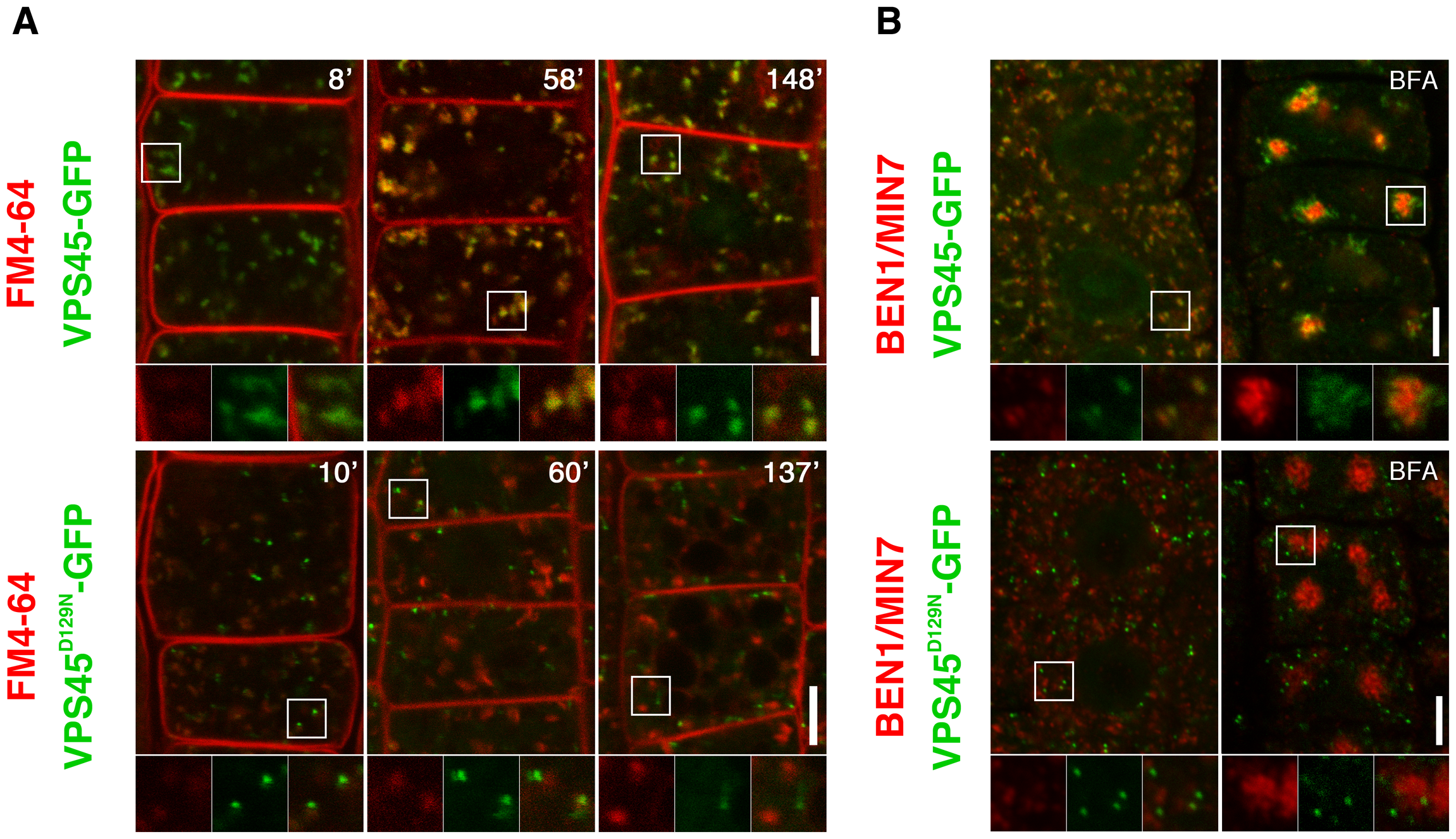 Double labeling experiments reveal early endosomal localization of VPS45 in root epidermal cells.