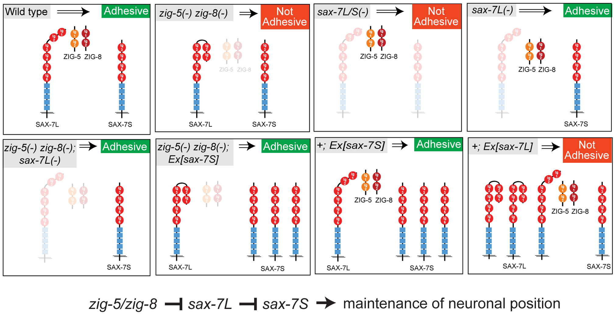 Genetic interactions of <i>zig-5, zig-8</i> and <i>sax-7</i>.