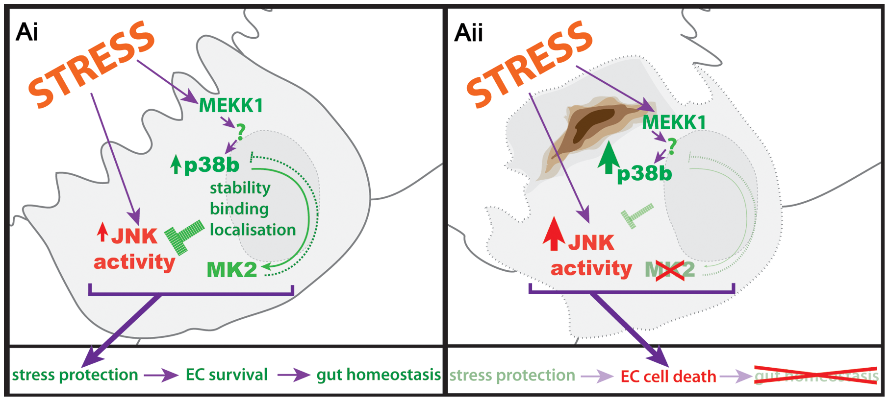 Protection of hindgut ECs by p38b/MK2.
